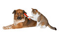 Cat brushing a blissful dog quirky image of pretty little with red brush grooming its friend cute brown crossbred lying basking in Stock Image