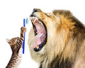 Cat Brushing Lion`s Teeth Royalty Free Stock Photo