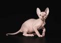 Cat canadian sphynx on black background Stock Image