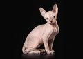 Cat canadian sphynx on black background Stock Images