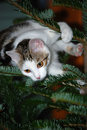Cat on a christmas tree young is climbing Royalty Free Stock Photo