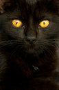 Cat closeup photo of a black Royalty Free Stock Images