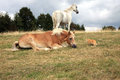 Cat creeps up to horses two white and brown resting on the meadow ginger them Royalty Free Stock Image