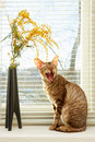 Cat cries sitting against venetian window blinds Royalty Free Stock Images