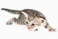 Cat crouching kitten on white background Royalty Free Stock Image