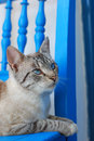 Cat cute with blue eyes Royalty Free Stock Image