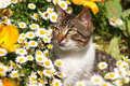 Cat in daisies grass and tulips Stock Image
