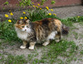 Cat and dandelions beautiful fluffy tricolor among the grass Stock Photos