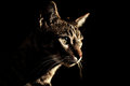 Cat in the dark lurking prey standing still darkness looking at a mouse and then a ray of light shone on his face Royalty Free Stock Image