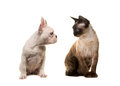 Cat devon rex and puppy dog french bulldog looking at each other Royalty Free Stock Photo