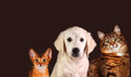 Cat and dog abyssinian kitten golden retriever Royalty Free Stock Photo