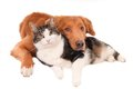 Cat and dog in an intimate pose isolated on white horizontal image is a toller duck tolling retriever Royalty Free Stock Images