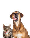Cat and dog licking lips closeup close up of a hungry large with tongues sticking out Stock Images