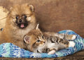 Cat and dog spitz puppy kitten breeds maine coon Stock Photos