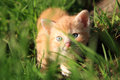 Cat domestic pet small red hair kitten creeps in green grass favorites Royalty Free Stock Photography
