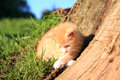 Cat domestic pet small red hair kitten creeps in green grass favorites Royalty Free Stock Photo