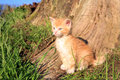 Cat domestic pet small red hair kitten creeps in green grass favorites Stock Photography
