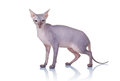 Cat of Don Sphynx breed Royalty Free Stock Photography