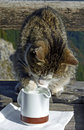 Cat douse paw into a little milk jug tabby at table Royalty Free Stock Photo