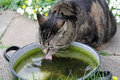 A cat drinks rainwater from bowl Royalty Free Stock Images