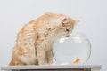The cat drinks water from the aquarium with goldfish domestic sitting on a table on which there is an Stock Photography