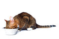 Cat eating Royalty Free Stock Photo
