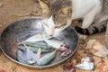 Cat Eating Fish