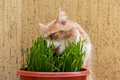 Cat is eating a grass green Stock Photography