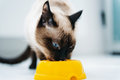 Cat eating pet food beautiful Stock Image