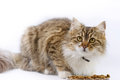 Cat eats beautiful maine coon Royalty Free Stock Photo