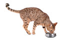 Cat eats brown breed bengal leopard prionailurus bengalensis eating from a bowl isolated on white background Stock Image