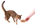 Cat eats cat-like meal Royalty Free Stock Image