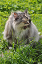Cat eats grass beautiful fat sitting on the green Stock Images