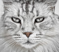 Cat face closeup Royalty Free Stock Photo