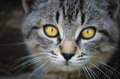Cat face with yellow eyes Royalty Free Stock Photo