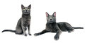 Cat family studio shot of russian blue female left Royalty Free Stock Images