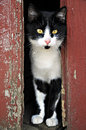 Cat farm peeking out of red barn doors Stock Photography