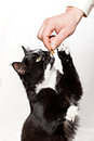 Cat feed with fodder the tries to take away from hands Royalty Free Stock Photos