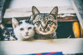 Cunning cats are peeking Royalty Free Stock Photo