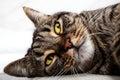 Cat feline friend relaxing. Face closeup