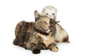 Cat and ferret plays on a white background Stock Photography