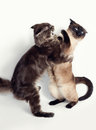 Cat fight maine coon vs siamese Royalty Free Stock Photos
