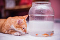 Cat and fish view of a looking at gold fishes in jar Stock Images