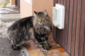 The cat flap a norwegian forest before s Royalty Free Stock Photography