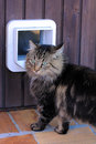 The cat flap a norwegian before a s Stock Photography