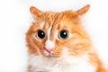 Cat, foxy Royalty Free Stock Photo