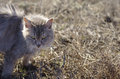 Cat frightened with arched back standing in a grass outdoor horizontal shot Royalty Free Stock Image