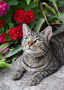 Cat in garden beautiful tabby sitting the on the porch near a flowering bush with red roses and enjoy Stock Image