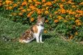 Cat in the garden with orange flowers - Lima, Peru