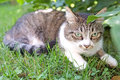Cat in the grass domestic hunting Royalty Free Stock Image